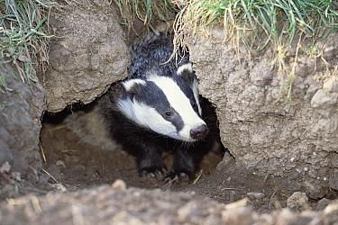 Eurasian Badger (Meles meles) at entrance to den, Somerset, United Kingdom  -  Colin Seddon/ npl