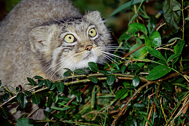 Pallas' Cat (Felis manul) juvenile portrait, native to Asia  -  Rod Williams/ npl