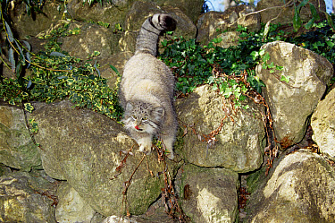 Pallas' Cat (Felis manul) male climbing on rocks, native to Asia  -  Rod Williams/ npl