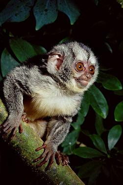 Grey Legged Night Monkey (Aotus lemurinus griseimembra) portrait, endangered, native to the Amazon  -  Rod Williams/ npl