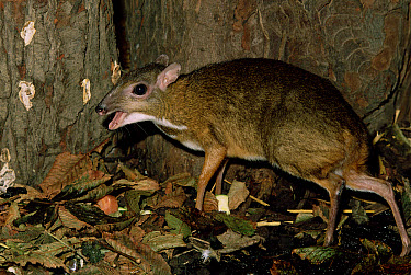 Lesser Malay Mouse Deer (Tragulus javanicus), native to South East Asia  -  Rod Williams/ npl
