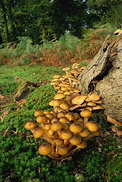 Honey Fungus (Armillaria mellea) growing near tree stump, New Forest, United Kingdom  -  Michael Hutchinson/ npl