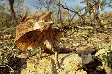Frilled Lizard (Chlamydosaurus kingii) expanding neck frill in defensive display, Australia  -  Warwick Sloss/ npl