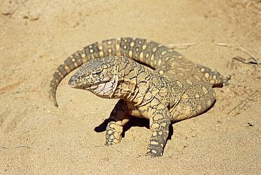 Giant Monitor Lizard (Varanus giganteus), largest lizard in Australia, up to two meters length, Australia  -  Warwick Sloss/ npl