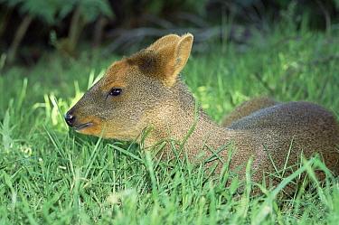 Southern Pudu (Pudu puda), world's smallest deer, resting in shade, endangered, Chile  -  Warwick Sloss/ npl