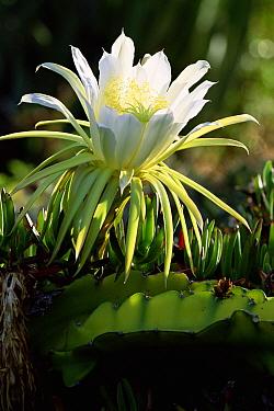 Queen of the Night Cactus (Selenicereus grandiflorus) in bloom, La Palma, Canary Islands, Spain  -  Martin Gabriel/ npl