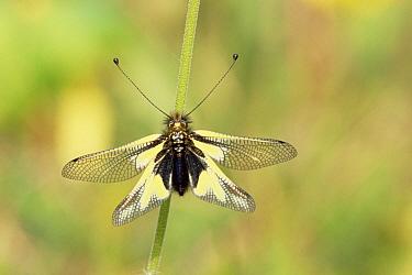 Ascalaphid Fly (Ascalaphus libelluloides) individual, Bavaria, Germany  -  Martin Gabriel/ npl