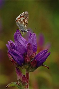 Common Blue (Polyommatus icarus) on Bellflower, Scotland  -  Brian Lightfoot/ npl