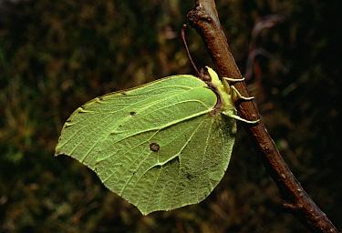 Brimstone (Gonepteryx rhamni) in hedgerow, England  -  Duncan McEwan/ npl