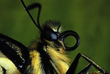 Oldworld Swallowtail (Papilio machaon) close-up of head showing coiled proboscis  -  Duncan McEwan/ npl