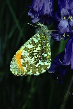 Orange Tip (Anthocharis cardamines) butterfly male on Bluebell flower, England  -  Duncan McEwan/ npl