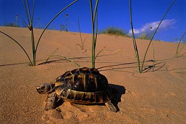Mediterranean Spur-thighed Tortoise (Testudo graeca) male on sand dune, Elche, Spain  -  Jose B. Ruiz/ npl