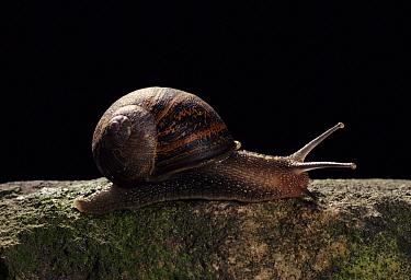 Brown Garden Snail (Helix aspersa) crawling, Derbyshire, England  -  Chris O'Reilly/ npl