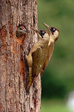 Eurasian Green Woodpecker (Picus viridis) pair feeding chick in nest hole, England  -  Mike Wilkes/ npl