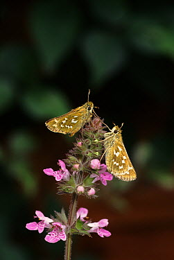 Silver-spotted Skipper (Hesperia comma) butterfly pair feeding on flower, England  -  George Mccarthy/ npl