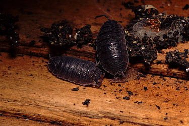 Common Pillbug (Armadillidium vulgare) pair with young, England  -  Dan Burton/ npl