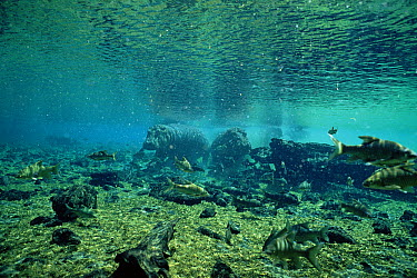 Hippopotamus (Hippopotamus amphibius) swimming underwater, Mzima Springs, Tsavo National Park, Kenya  -  Doug Allan/ npl