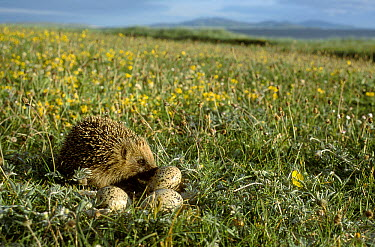 Brown-breasted Hedgehog (Erinaceus europaeus) eating Oystercatcher eggs on South Uist, Scotland  -  Martin H Smith/ npl