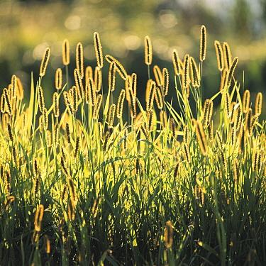 Yellow Foxtail (Setaria glauca), Japan  -  Kazuma Anezaki/ Nature Productio