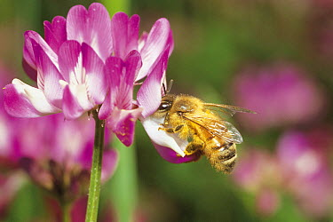 Honey Bee (Apis mellifera) collecting pollen from Chinese Milk Vetch (Astragalus sinicus) flower, Nara, Japan  -  Fukuo Ito/ Nature Production