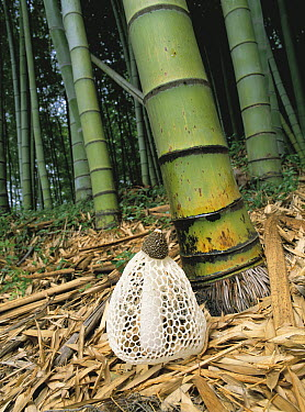 Veiled Lady (Dictyophora indusiata) mushroom in bamboo forest, Japan  -  Masana Izawa/ Nature Production