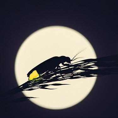 Japanese Firefly (Luciola cruciata) glowing in sihouette against the moon, Japan  -  Satoshi Kuribayashi/ Nature Prod