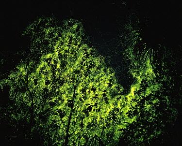 Firefly (Lampyridae) swarm glowing at night, Indonesia  -  Mitsuhiko Imamori/ Nature Produc