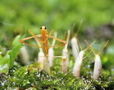 Water Scorpion (Ranatra chinensis) larva hatching, Japan  -  Modoki Masuda/ Nature Production