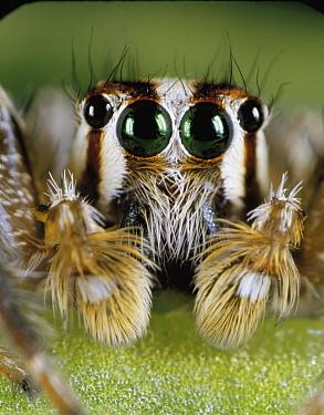 Jumping Spider (Plexippus paykulli) face, Japan  -  Yukio Nanba/ Nature Production