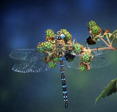 Sedge Darner (Aeshna juncea) dragonfly on Shrubby Blackberry (Rubus fruticosus) shrub, V323Europe  -  Kim Taylor/ npl