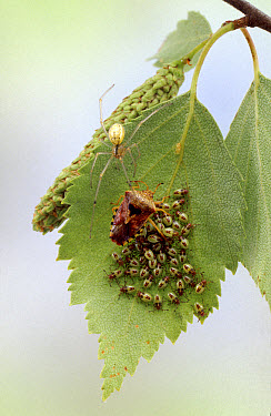 Parent Bug (Elasmucha grisea) female protects her nymphs from a spider, England  -  Kim Taylor/ npl