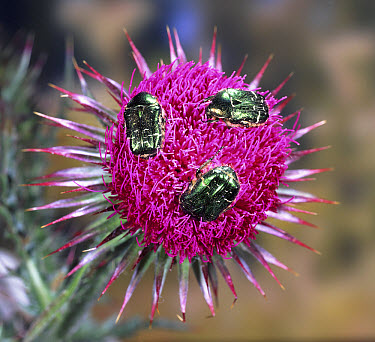 Green Rose Chafer (Cetonia aurata) beetles feeding on Musk Thistle (Carduus nutans) flower, Dorset, England  -  Kim Taylor/ npl