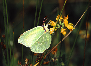 Brimstone (Gonepteryx rhamni) butterfly female feeding on Common Birdsfoot Trefoil (Lotus corniculatus), England  -  Kim Taylor/ npl