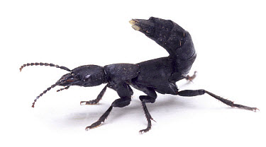 Devil's Coach-horse Beetle (Ocypus olens) note scent organs at tip of tail, England  -  Kim Taylor/ npl
