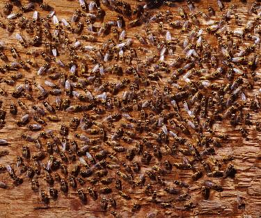 Yellow Swarming Fly (Thaumatomyia notata) mass hibernating in an attic, England  -  Kim Taylor/ npl