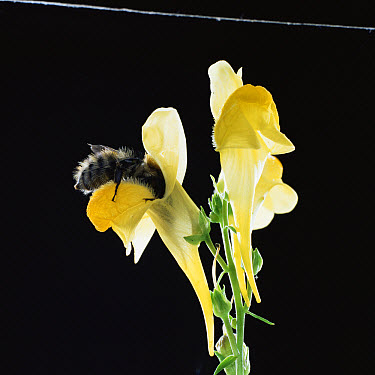 Meadow Bumble Bee (Bombus agrorum) visiting common toadflax flower  -  Kim Taylor/ npl