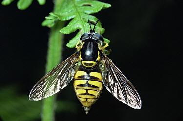 Hoverfly (Chrysotoxum cautum), United Kingdom  -  Kim Taylor/ npl