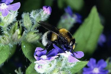 Hoverfly (Volucella bombylans) feeding on Alkanet (Alkanna tinctoria) flower, United Kingdom  -  Kim Taylor/ npl