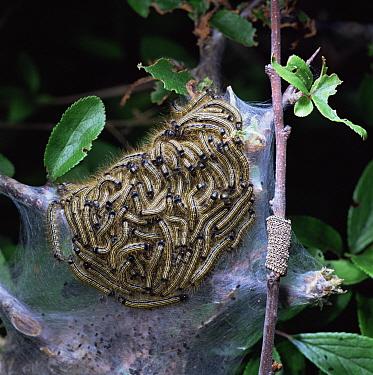 Lackey Moth (Malacosoma neustria) caterpillars and hatched eggs, United Kingdom  -  Kim Taylor/ npl