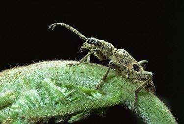 Blackspotted Pliers Support Beetle (Rhagium mordax) on bracken, England  -  Kim Taylor/ npl