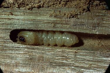 Blackspotted Pliers Support Beetle (Rhagium mordax) pupa in oak wood, England  -  Kim Taylor/ npl