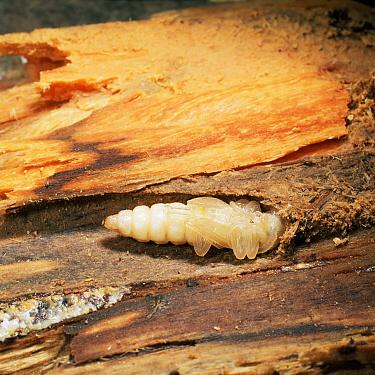 Blackspotted Pliers Support Beetle (Rhagium mordax) pupa in dead wood, United Kingdom  -  Kim Taylor/ npl
