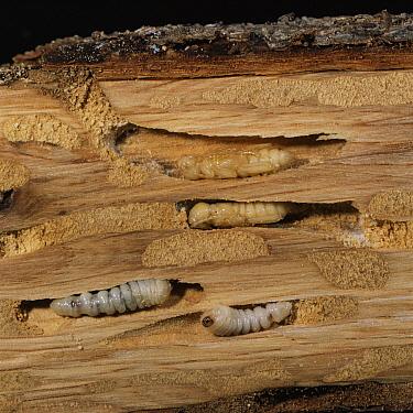 Blackspotted Pliers Support Beetle (Rhagium mordax) pupae and larvae in oak wood, England  -  Kim Taylor/ npl