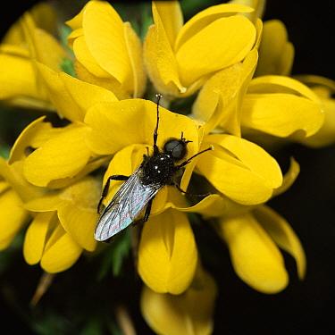 St Mark's Fly (Bibio marci) on Gorse (Ulex sp) flower, England  -  Kim Taylor/ npl
