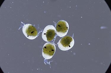Common Prawn (Palaemon serratus) eggs showing eyes of developing larvae, England  -  Kim Taylor/ npl
