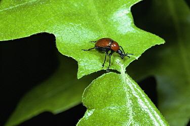 Oak Roller Weevil (Attelabus nitens) cuts leaf of Turkey Oak (Quercus cerris) prior to rolling it, England  -  Kim Taylor/ npl
