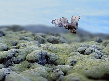 Short-eared Owl (Asio flammeus) hunting for Lemmings, *digital composite*  -  Kim Taylor/ npl