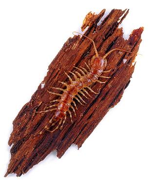 Banded Centipede (Lithobius variegatus) on a piece of bark, England  -  Kim Taylor/ npl
