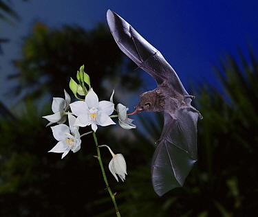 Nectar-eating Bat feeding at orchid flower, West Indies *digital composite*  -  Kim Taylor/ npl