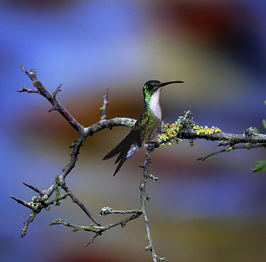 White-chested Emerald (Amazilia chionopectus) hummingbird male, native to South America *digital composite*  -  Kim Taylor/ npl